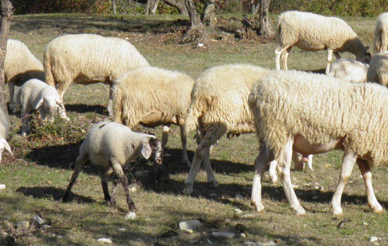 Nascita di un agnellino alla Valle