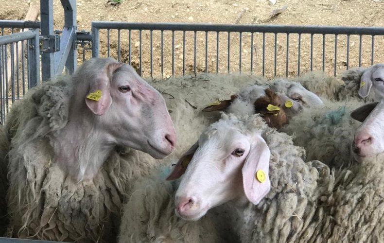 Remind di inizio giugno… pioggia, pascoli e pecore!