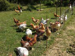A maggio agnelli, anatre e polli ruspanti… consolanti e incoraggianti!