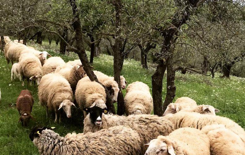 Arriva giugno… onoriamo la transumanza con pecore e tanta ciccia fresca per le grigliate estive!